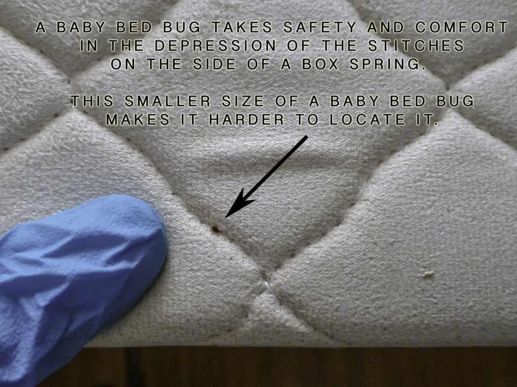 Baby bed bug FEELS SAFE IN the stitching depressions