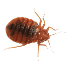 An Adult Bed Bug Captured by pest control toronto