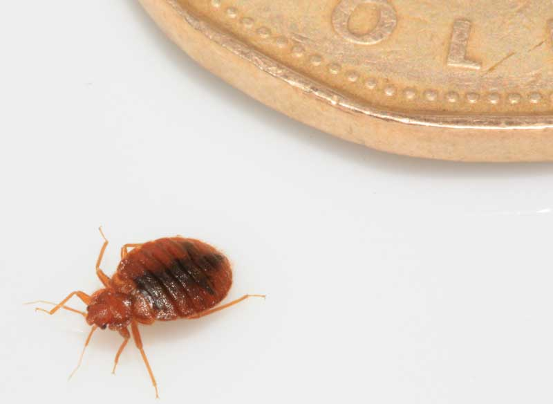 Bed Bugs FAQs -What is a Bed Bug?