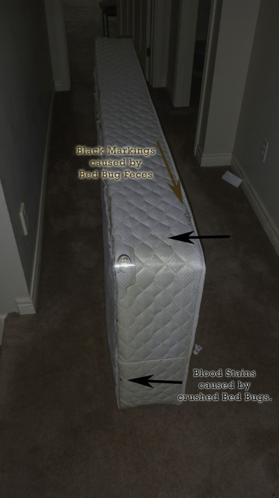 Bed Bug Black Feces and Blood Spots on BoxSpring
