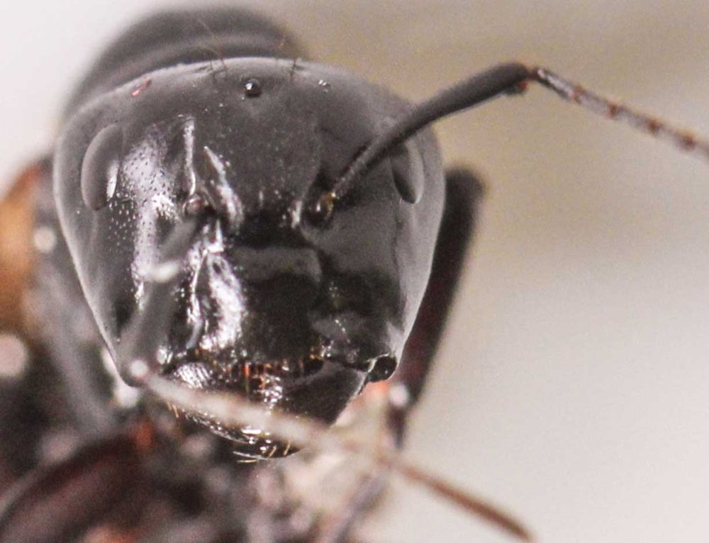 Carpenter Ants Extermination and Pest Control in Toronto