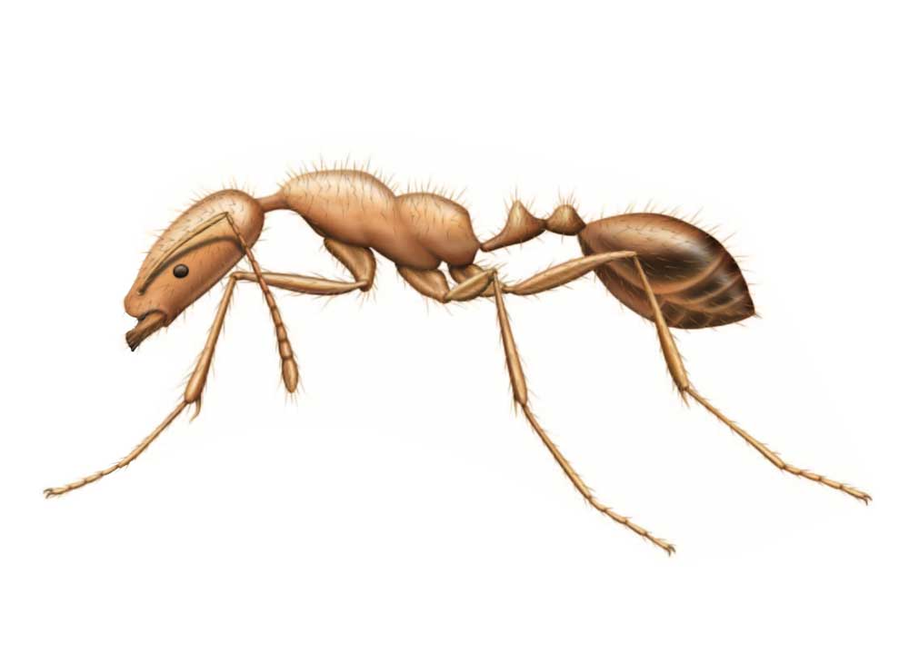 how to find fire ants canada