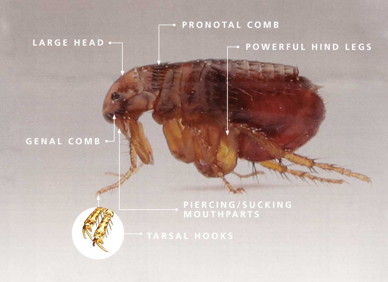 Cat and Dog Flea Anatomy