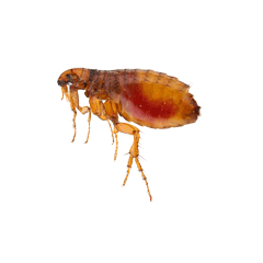 A Cat and Dog Flea