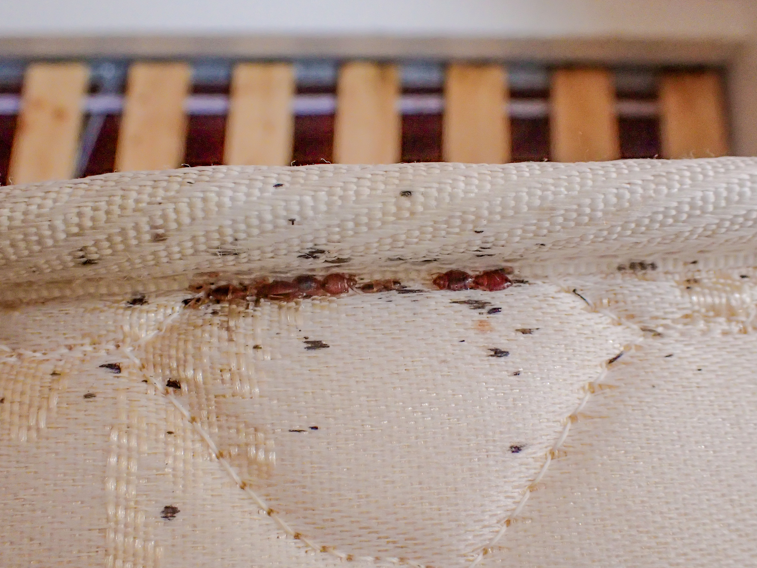 Bed Bugs Blood Stains and Black Markings along Mattress Piping.