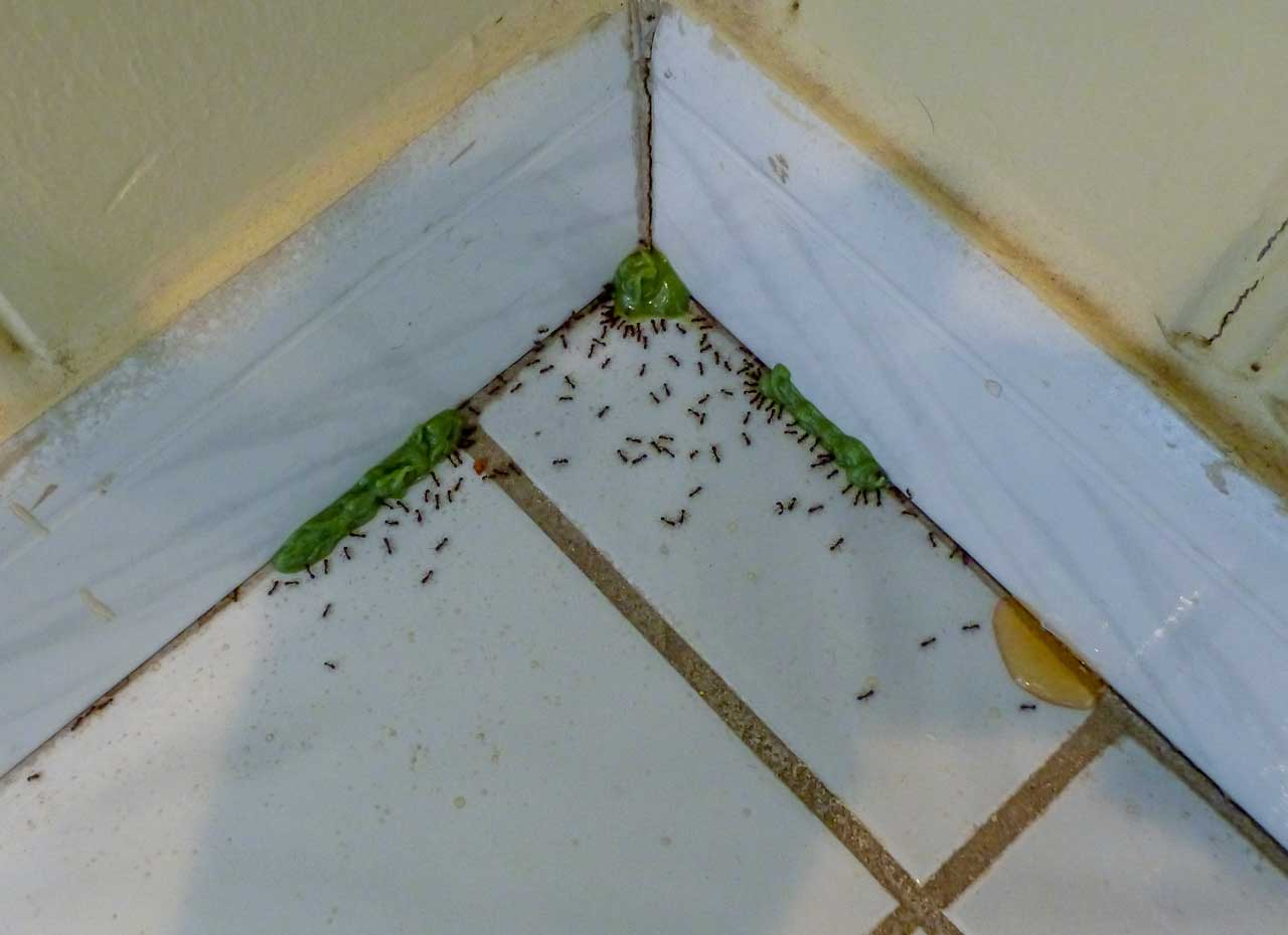 Pavement Ants keenly interested in green protein based bait by the baseboards
