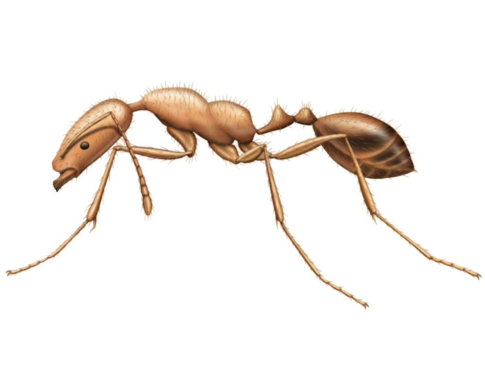Pharaoh Ants Extermination and Pest Control in Toronto