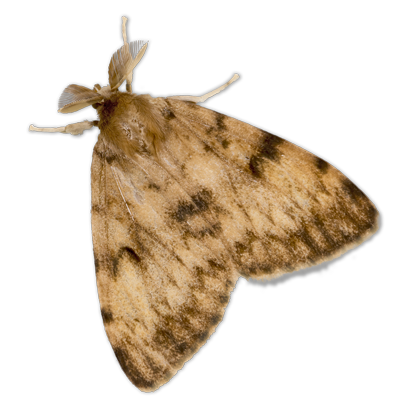 Adult Gypsy Moth