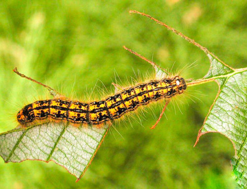 Caterpillar Extermination and Pest Control in Toronto