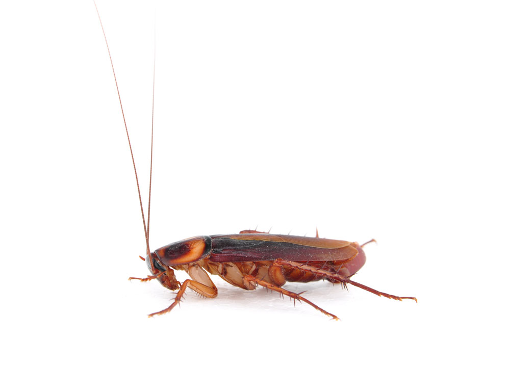 German Cockroach Extermination and Pest Control in Toronto