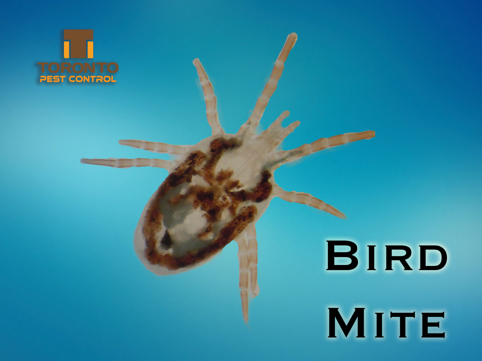 Bird Mites Extermination and Pest Control in Toronto