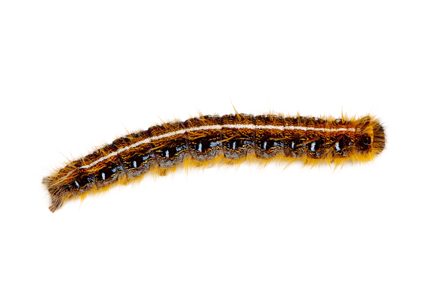 Larva Gypsy Moth - Caterpillar